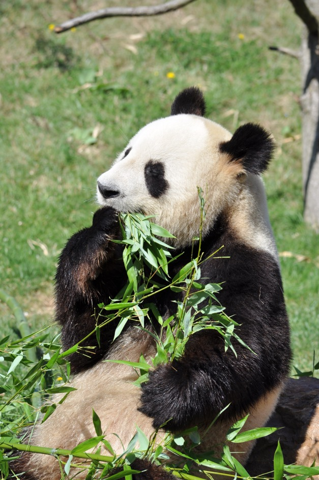 yuan_zi_-_panda